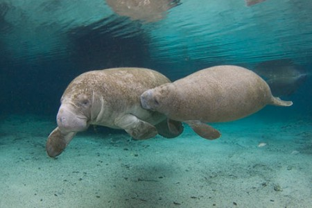 Save the Manatee Club